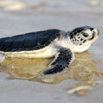 Image of a Green Sea Turtle hatchling